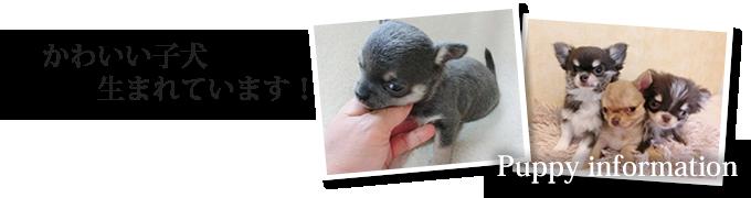 チワワの子犬生まれています