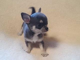 チワワスムース子犬3